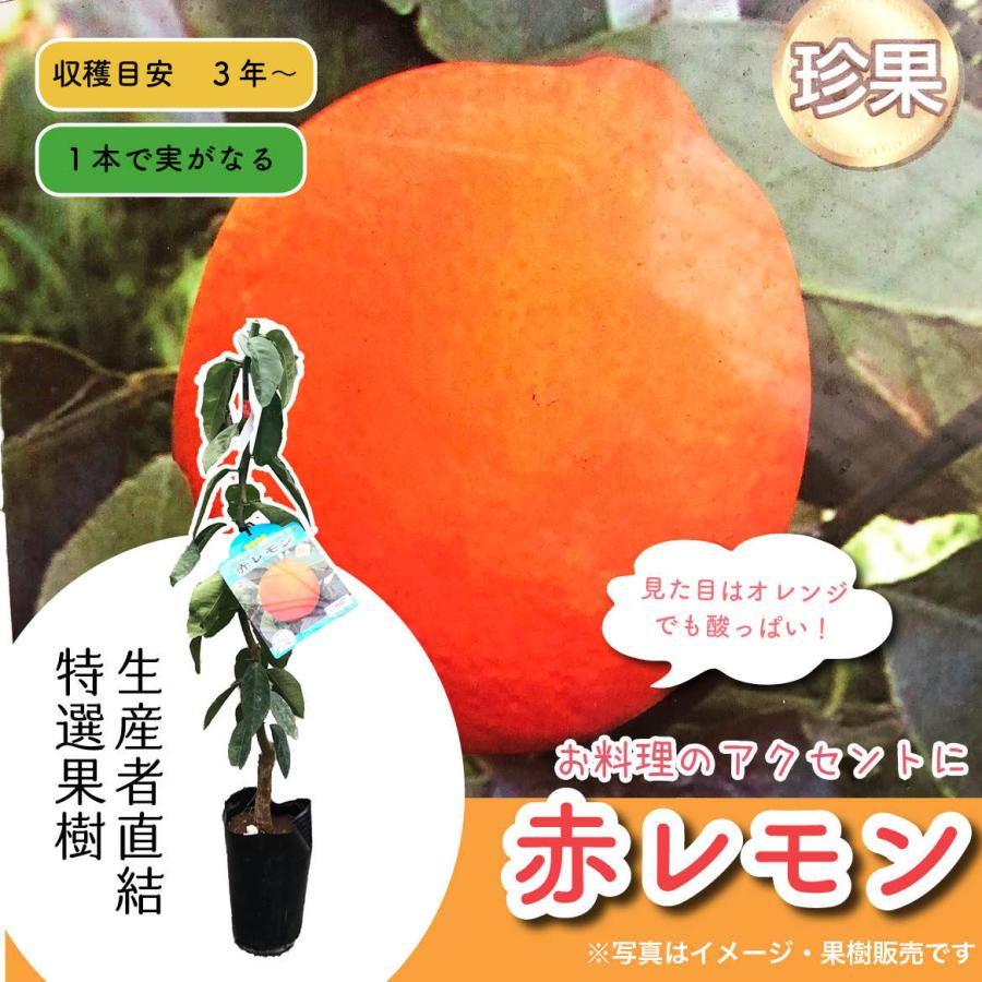 特選果樹苗★赤レモン kajoenjp