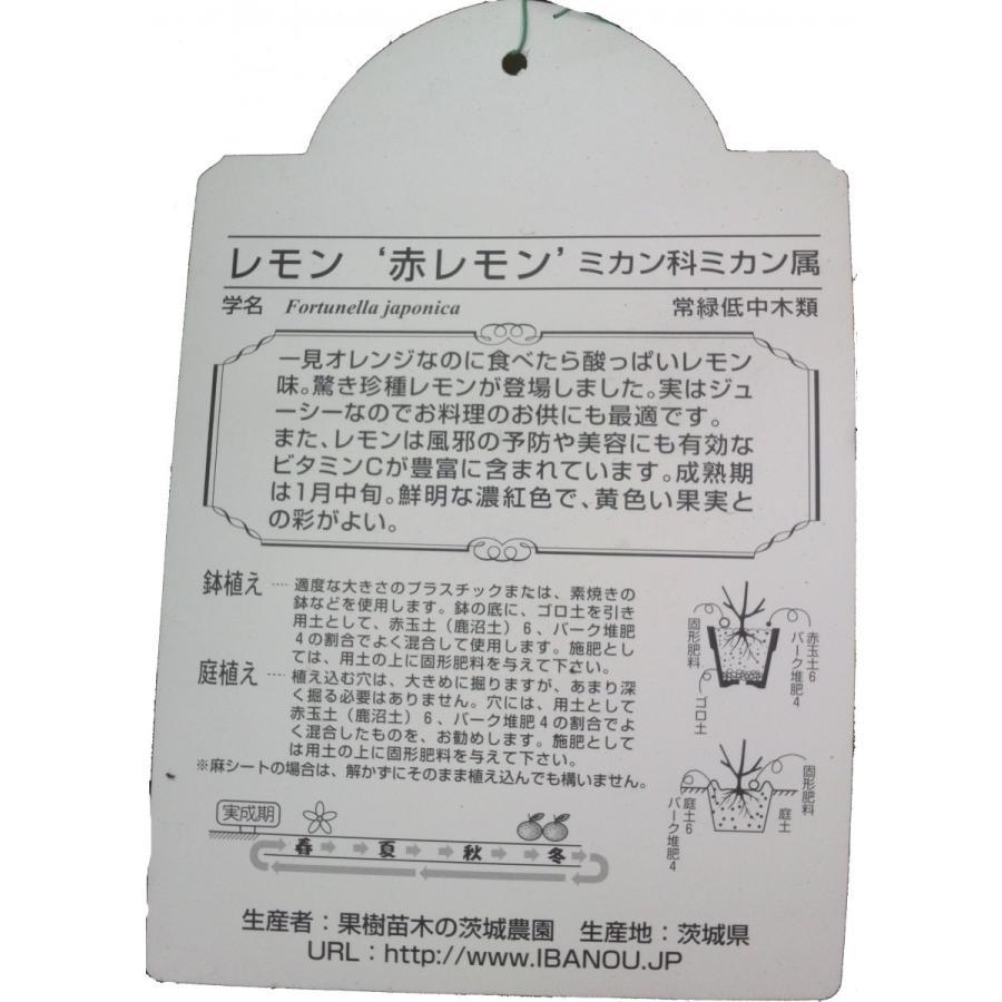 特選果樹苗★赤レモン kajoenjp 02