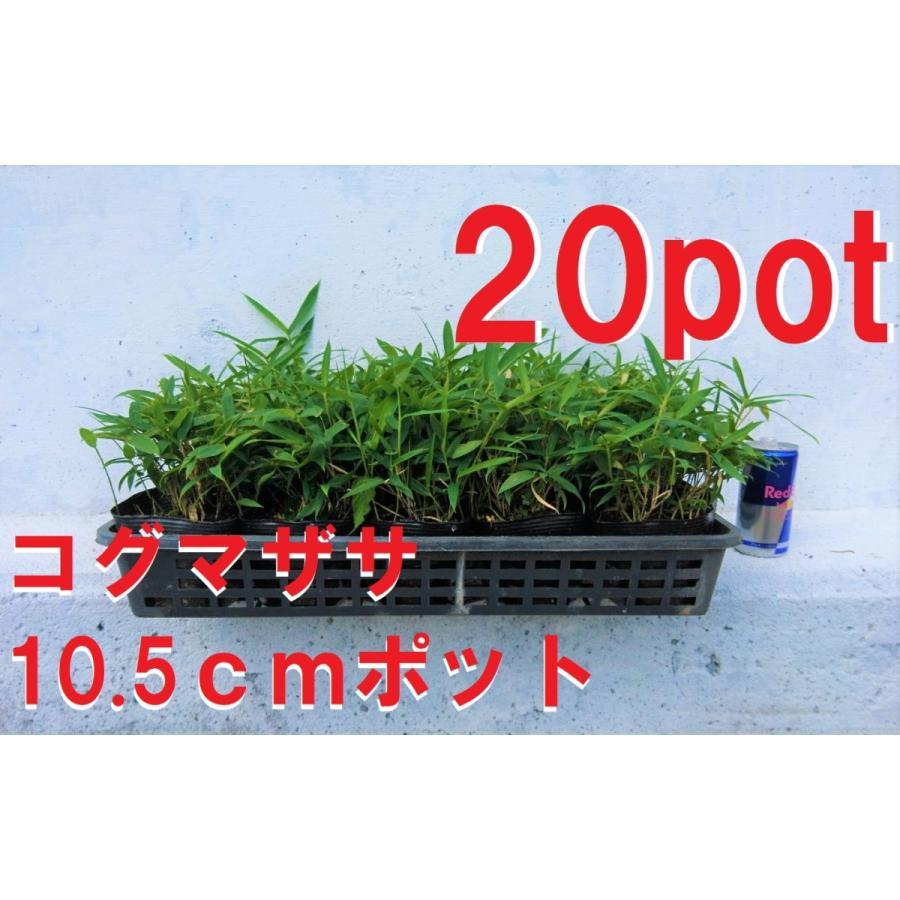 コグマザサ 20ポットセット 小熊笹 高品質 笹 受注生産品 レビューを書いて特典Get 和風のお庭に 苗