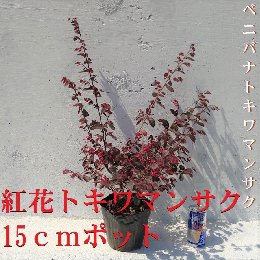 本日限定 トキワマンサク 1ポット 生垣 寄せ植え ガーデニング 赤葉紅花常盤万作 苗 販売期間 限定のお得なタイムセール ベニバナトキワマンサク