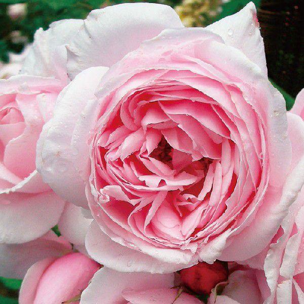 バラ 定価 ナエマ 秋苗 激安セール 大苗 四季咲 薔薇 S バラ苗 デルバール 202108