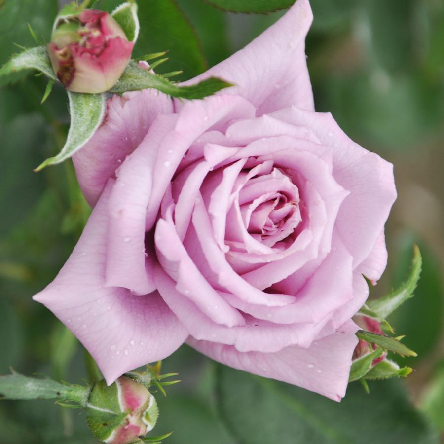 バラ マミーブルー 秋苗 大苗 紫色 四季咲 デルバール 薔薇 100%品質保証! バラ苗 202108 ブランドローズ 再再販