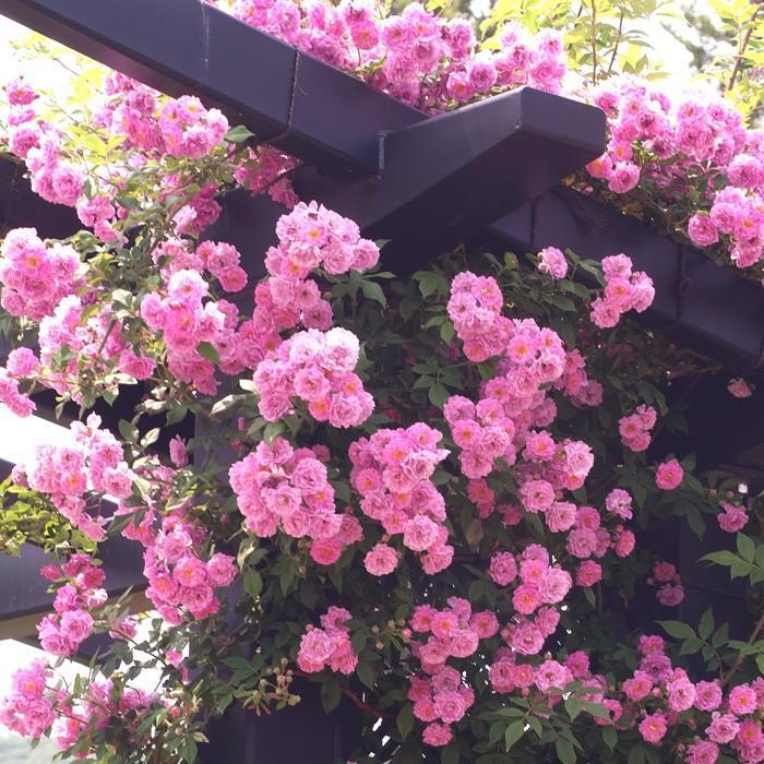 バラ マニントン モーブ ランブラー 国内正規品 R 安売り 春苗 新苗 バラ苗 薔薇 一季咲 202108 つるバラ クライミングローズ