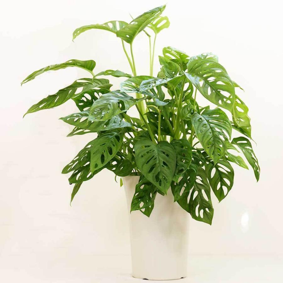 人気ショップが最安値挑戦 ランキングTOP5 マドカズラ 観葉植物 おしゃれ 室内 育てやすい 育て方 種類 人気 送料無料 中型 一覧 プレゼント