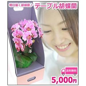 明日贈れる テーブル胡蝶蘭|kihana-shop