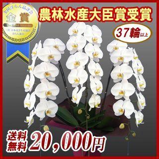 胡蝶蘭 大輪3本立ち 20,000円 明日贈れる 選べる3色 白 ピンク 赤リップ  贈答用 お祝い ギフト お供え|kihana-shop