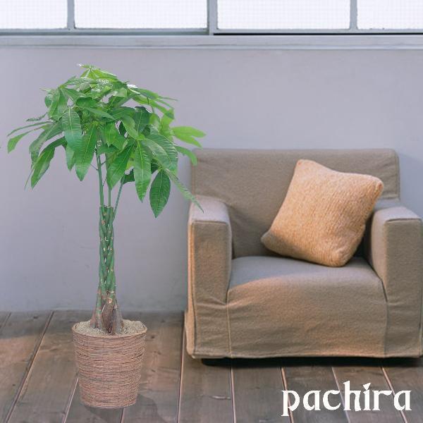 観葉植物 パキラ8号 バスケット付き 送料無料 即日発送の輝華 開店祝い 新築祝いに|kihana-shop