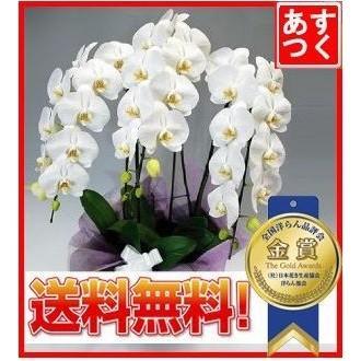 胡蝶蘭ランキング1位 3本立ち 明日贈れる 贈答用 お祝い ギフト お供え|kihana-shop
