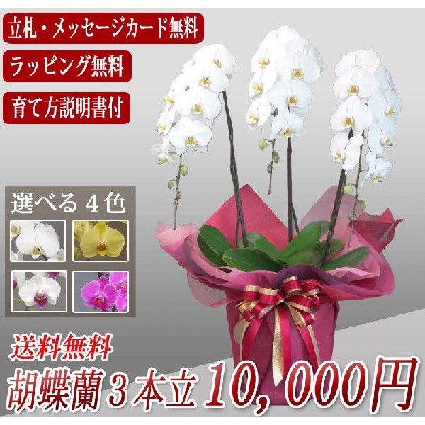 胡蝶蘭ランキング1位 3本立ち 明日贈れる 贈答用 お祝い ギフト お供え|kihana-shop|05