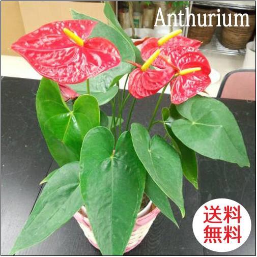観葉植物 アンスリウム赤 バスケット付き 送料無料 開店祝い 新築祝いにオススメ|kihana-shop
