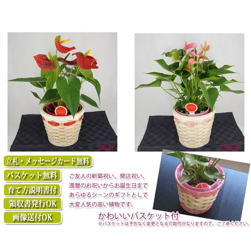観葉植物 アンスリウム赤 バスケット付き 送料無料 開店祝い 新築祝いにオススメ|kihana-shop|04