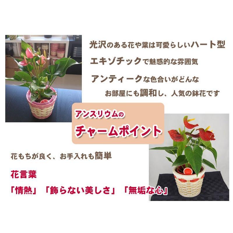 観葉植物 アンスリウム赤 バスケット付き 送料無料 開店祝い 新築祝いにオススメ|kihana-shop|05