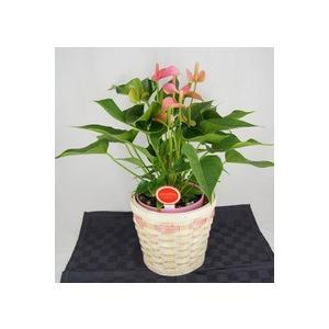 観葉植物 アンスリウムピンク バスケット付き送料無料 開店祝い 新築祝いにオススメ|kihana-shop|02