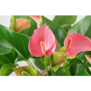 観葉植物 アンスリウムピンク バスケット付き送料無料 開店祝い 新築祝いにオススメ|kihana-shop|03