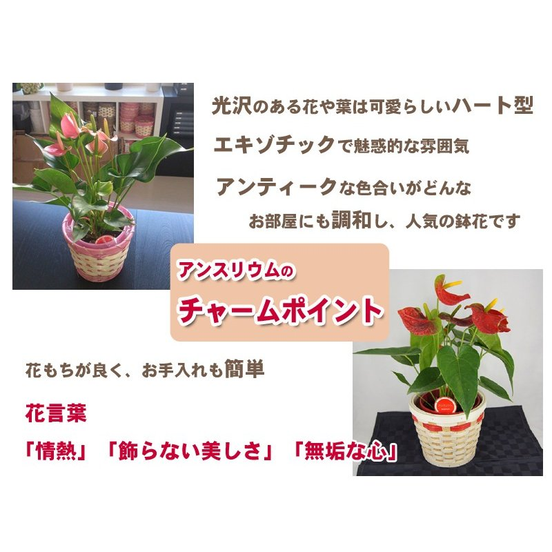 観葉植物 アンスリウムピンク バスケット付き送料無料 開店祝い 新築祝いにオススメ|kihana-shop|05