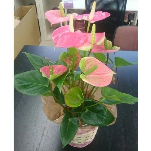 観葉植物 アンスリウムピンク バスケット付き送料無料 開店祝い 新築祝いにオススメ|kihana-shop|06
