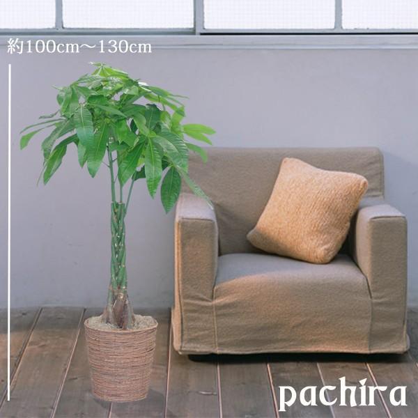 観葉植物 パキラ8号 バスケット付き 送料無料 即日発送の輝華 開店祝い 新築祝いに|kihana-shop|02