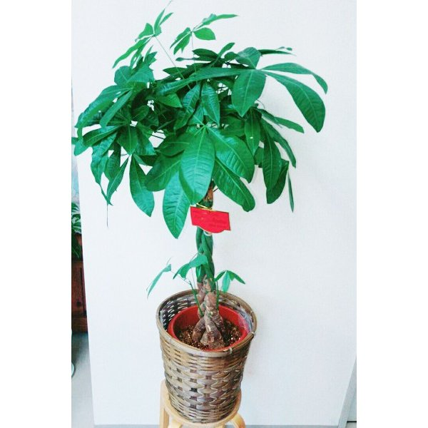 観葉植物 パキラ8号 バスケット付き 送料無料 即日発送の輝華 開店祝い 新築祝いに|kihana-shop|06