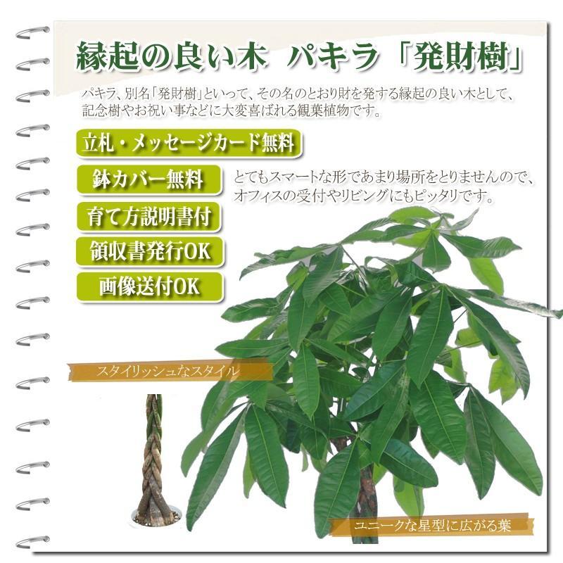 観葉植物 パキラ10号 バスケット付き 開店祝い 新築祝いにオススメ|kihana-shop|02
