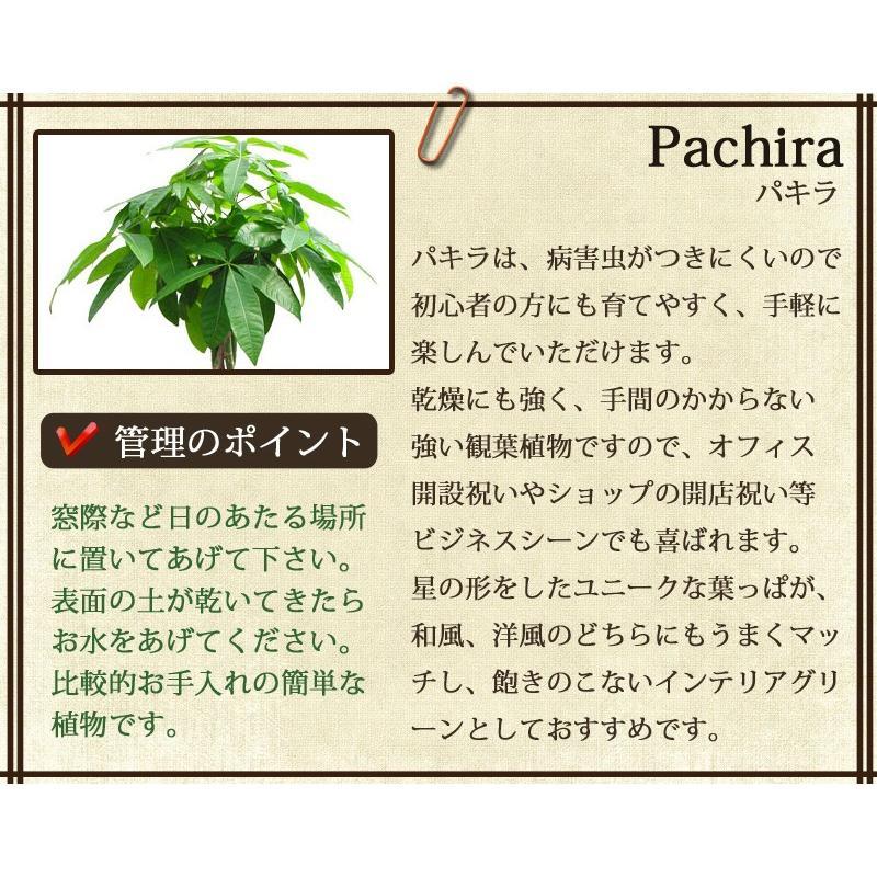 観葉植物 パキラ10号 バスケット付き 開店祝い 新築祝いにオススメ|kihana-shop|03