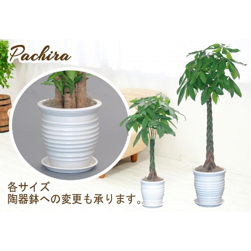 観葉植物 パキラ10号 バスケット付き 開店祝い 新築祝いにオススメ|kihana-shop|04
