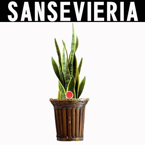観葉植物 サンスベリア バスケット付き 送料無料 即日発送の輝華 開店祝い 新築祝いに kihana-shop