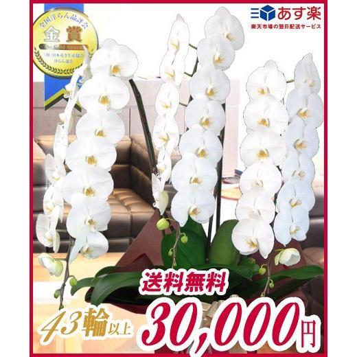 胡蝶蘭 大輪 3本立ち 30,000円 選べる3色 白 ピンク 赤リップ 明日贈れる  贈答用 お祝い ギフト お供え|kihana-shop