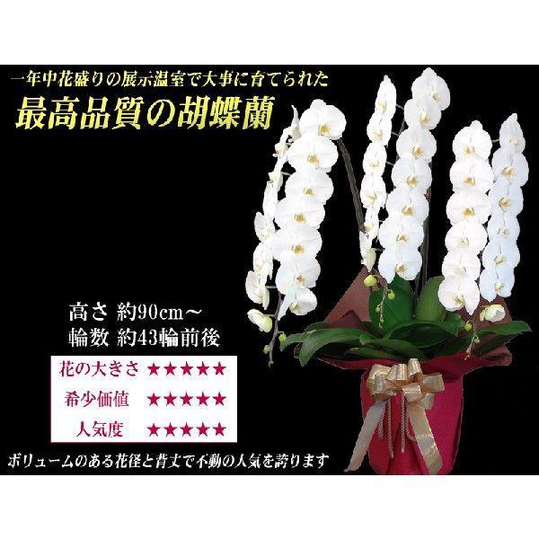 胡蝶蘭 大輪 3本立ち 30,000円 選べる3色 白 ピンク 赤リップ 明日贈れる  贈答用 お祝い ギフト お供え|kihana-shop|03
