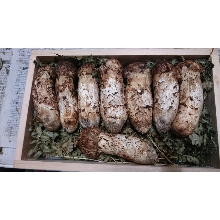 【岩手県山田町産】松茸・ツボミ 1箱300g入(2から5本) 採りたて 新鮮 ※産地直送※|kikuko-store