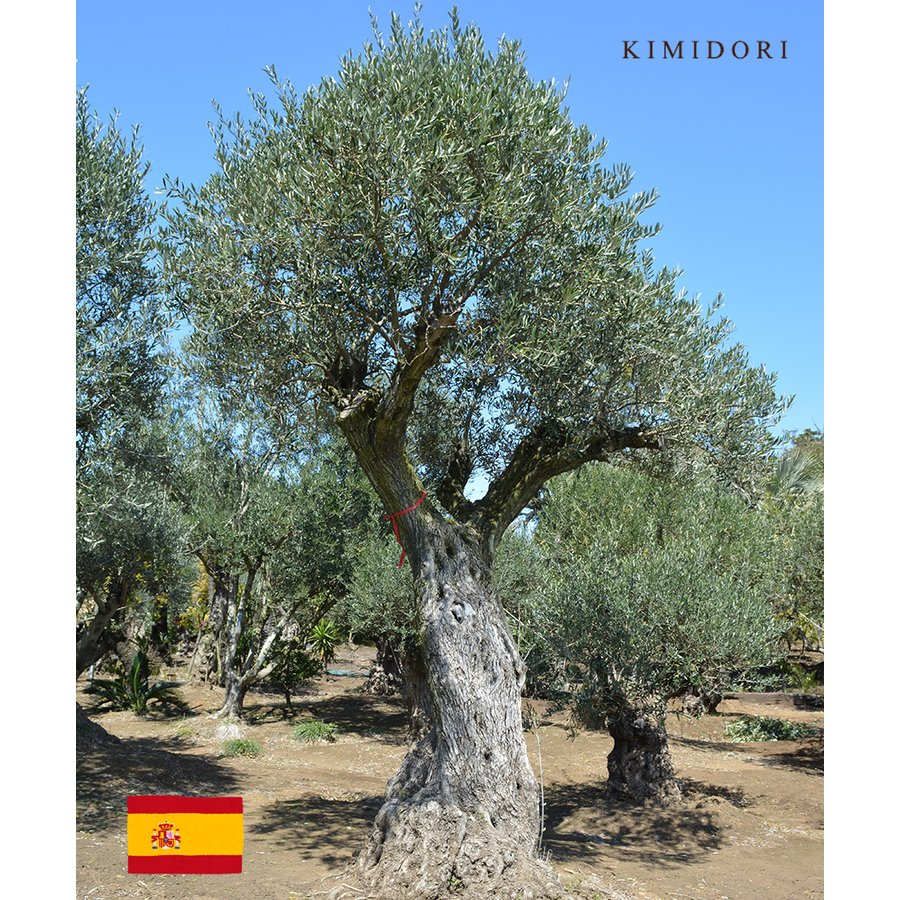 オリーブ スペイン L 約350cm 古木 直輸 地植え 丈夫 現品 植木 シンボルツリー 庭木 苗木 ガーデニング 記念樹 エクステリア 外構 高品質