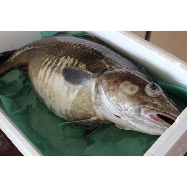 北海道産生真鱈(タラ)(オス)5kg以上(1尾)〔B〕北港直販・たら・真ダチ〔代引き不可〕|kitachokuhan