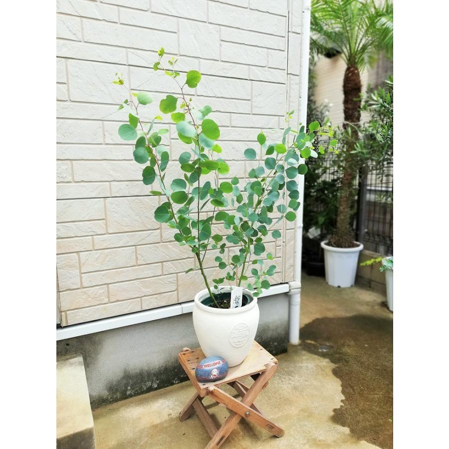 ユーカリ ポポ ラス おすすめシンボルツリー②~ユーカリポポラス~ –
