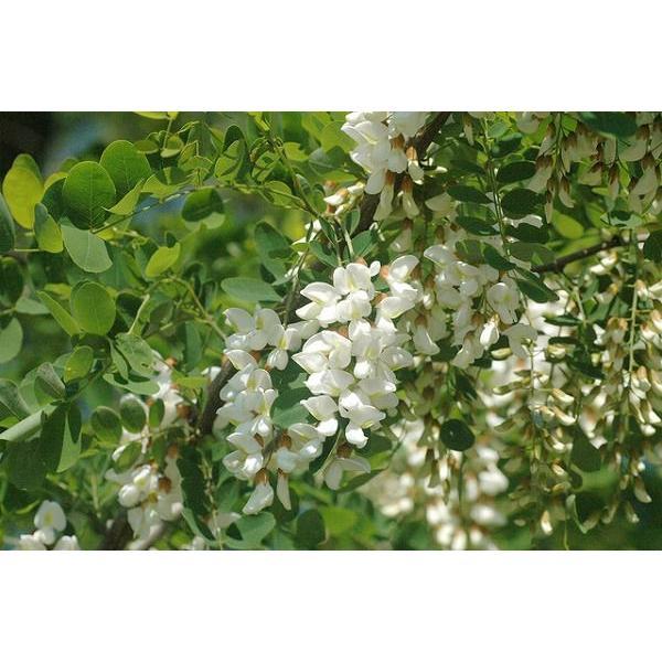 小松養蜂場 アカシア蜂蜜 180g|komatsu888|03
