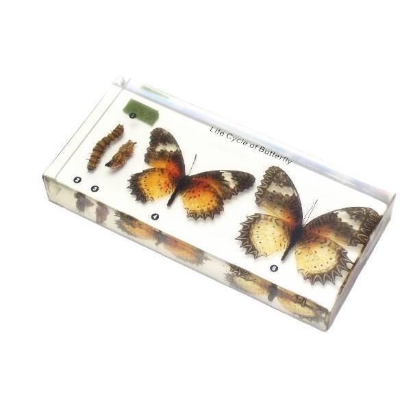 【昆虫樹脂標本】チョウの成長 konchu-hyouhon