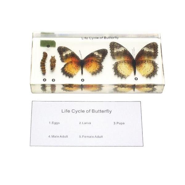 【昆虫樹脂標本】チョウの成長 konchu-hyouhon 02