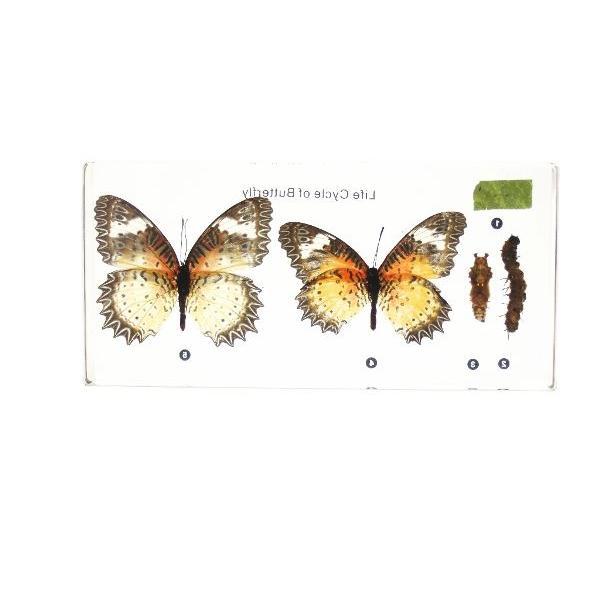 【昆虫樹脂標本】チョウの成長 konchu-hyouhon 03