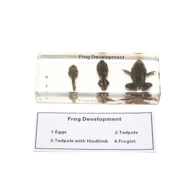 【昆虫樹脂標本】カエルの成長 konchu-hyouhon 02