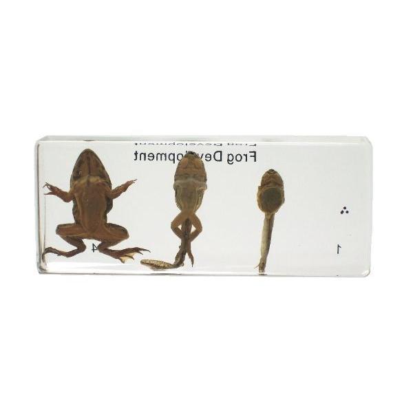 【昆虫樹脂標本】カエルの成長 konchu-hyouhon 03