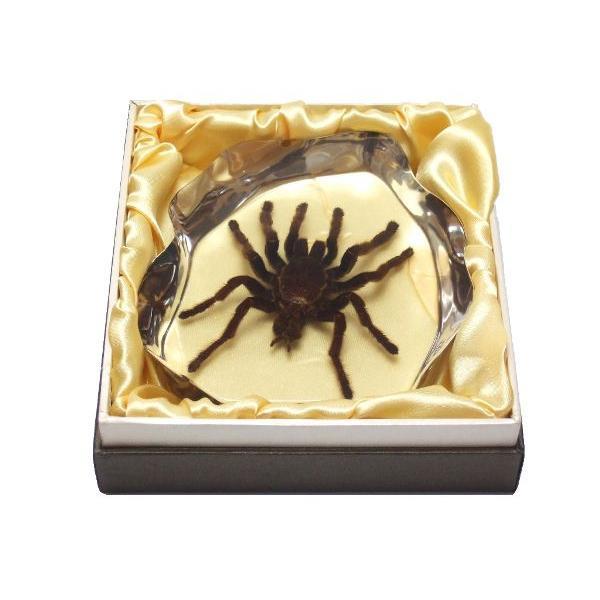 【昆虫樹脂標本】タランチュラ|konchu-hyouhon|04