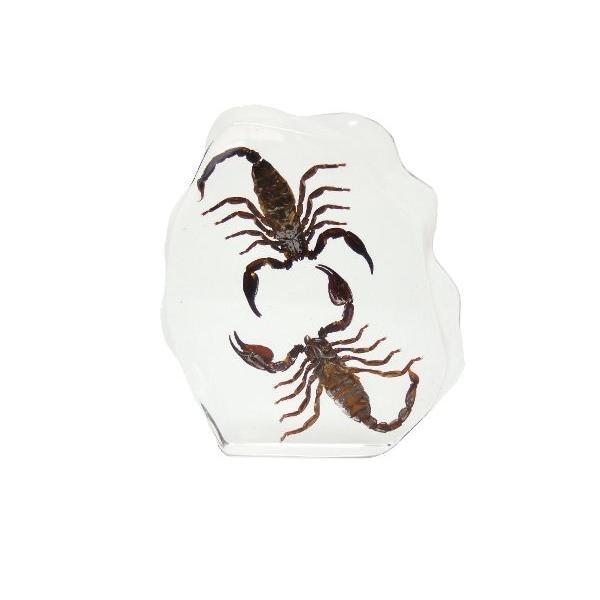 【昆虫樹脂標本】チャグロサソリvsチャグロサソリ|konchu-hyouhon|03