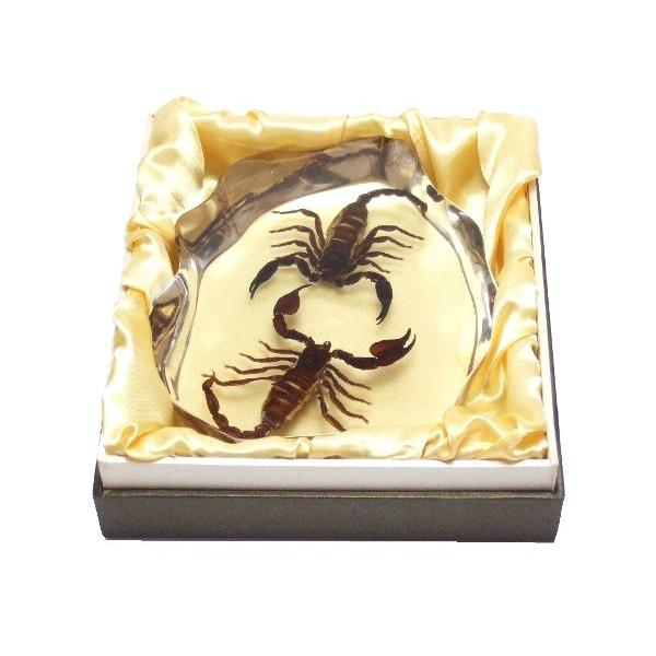 【昆虫樹脂標本】チャグロサソリvsチャグロサソリ|konchu-hyouhon|04