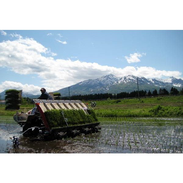 無洗米 5キロ 無洗米5kg 新潟県産 こしいぶき5kg (5kg×1袋) 5kg 無洗米 5キロ 農家直送 こしいぶき 5キロ 令和2年産 美味しいお米|kosihikari|03
