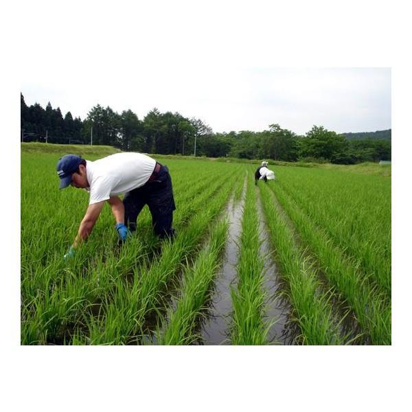 無洗米 5キロ 無洗米5kg 新潟県産 こしいぶき5kg (5kg×1袋) 5kg 無洗米 5キロ 農家直送 こしいぶき 5キロ 令和2年産 美味しいお米|kosihikari|04
