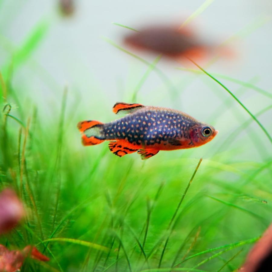 熱帯魚 ミクロラスボラspハナビ 5匹 ※雄雌のご指定不可|kotinettaigyo