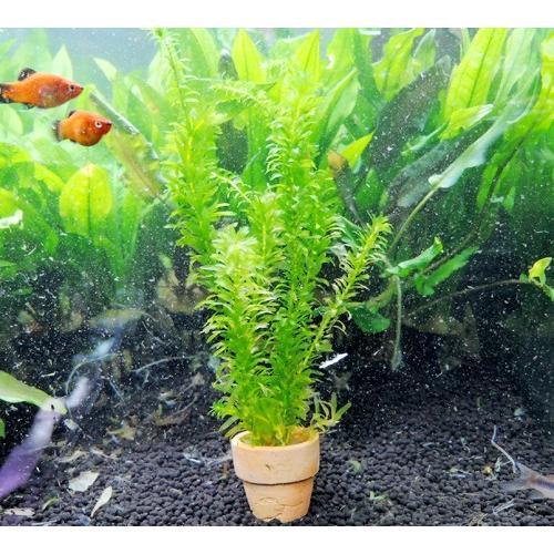 水草 アナカリス(オオカナダモ) ミニ素焼き鉢入り 1個 金魚藻 金魚 ...