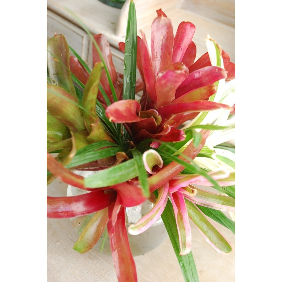 *ネオレゲリアの2度楽しめるブーケ*観葉植物としてずっと飾れるネオレゲリア kugelfg 02
