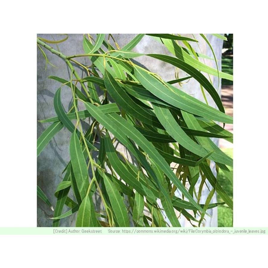 レモンユーカリ 種子 |  ユーカリ・シトリオドラ | ハーブ木 樹木 種子|kugelfg
