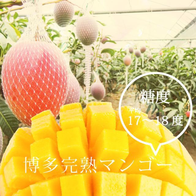 【品番C】特特大玉×2玉入り くるめで育った完熟マンゴー|kurashige-nouen|06