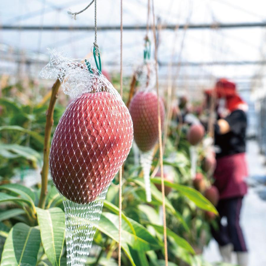 【規格外品】特大玉×2玉入り 家庭用完熟マンゴー|kurashige-nouen|02