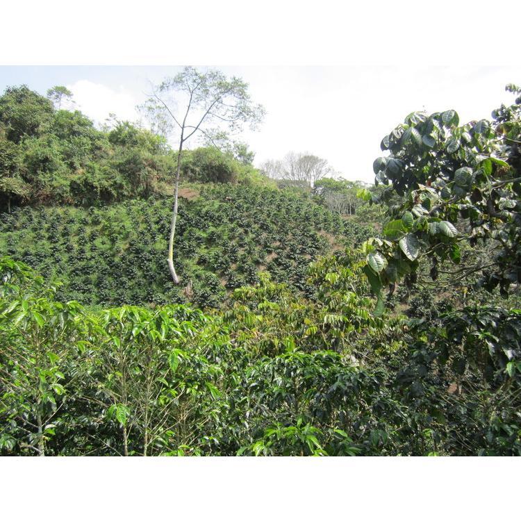 コーヒー豆 コーヒー 珈琲 100g  デカフェ-カフェインレス-  コロンビア サンアグスティン|kyoto-coffee|04